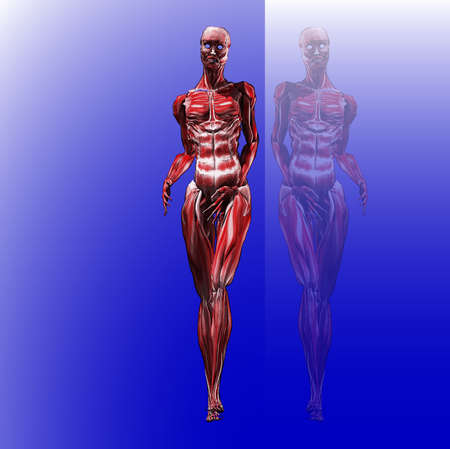 fade: A female muscle illustration over blue fade with reflection and copy space Illustration