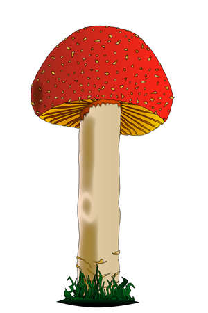 amanita: A red and white edible mushroom isolated on a white background.