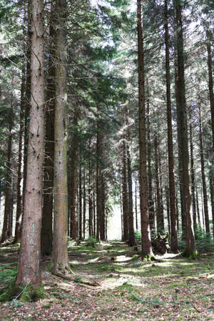 A pathway through a forest of trees in the middle of The Forest of Dean England Stock Photo