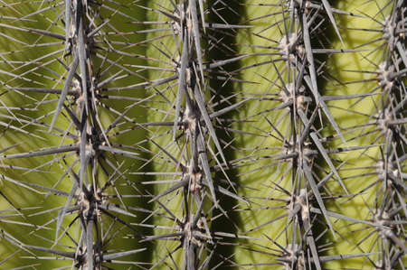 Mexican cactus thorns of sonillo by day Stock fotó