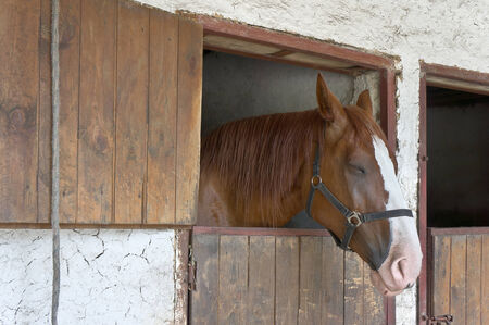 Sleeping chestnut horse stands in the stable photo