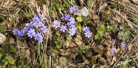 hepatica: Blue flowers of Hepatica are in the forest in the early spring Stock Photo