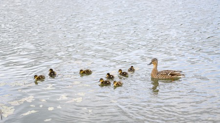 brood: Duck with brood of ducklings swim on pond Stock Photo
