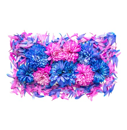 Blue and pink chrysanthemum flowers and petals are in shape of rectangle.Isolated on white background