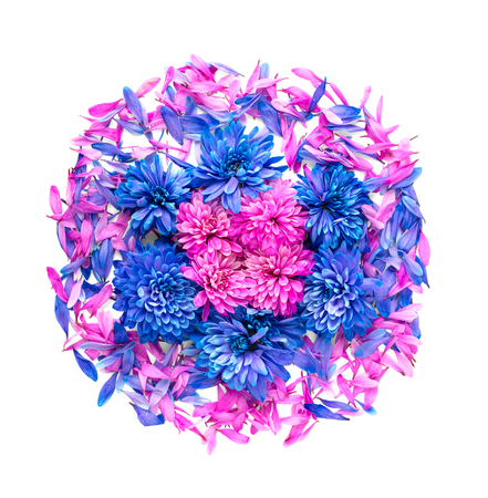 dichromatic: Blue and pink chrysanthemum flowers and petals are in shape of circle.Isolated on white background