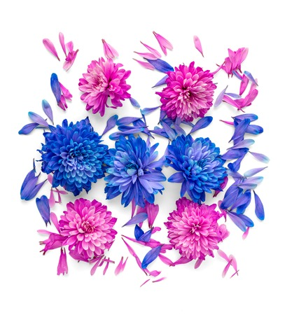 Blue and pink chrysanthemum flowers and petals are in shape of square.Isolated on white background
