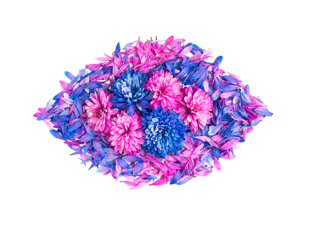 Blue and pink chrysanthemum flowers and petals are in shape of oval.Isolated on white background Stock Photo