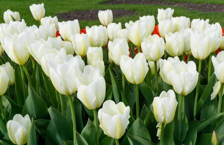 Blooming white tulips are against background of green lawn.Small depth of field