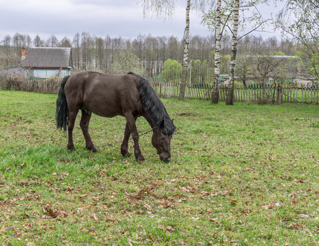 Horse graze on meadow near village. Overcast day Stock Photo