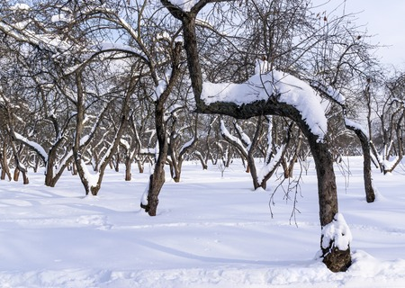 Old apple tree in winter is in orchard covered with snow