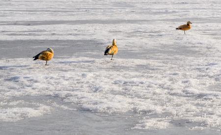 Three sleeping of  Mandarin ducks are on frozen pond. Sunny winter day. Copy space