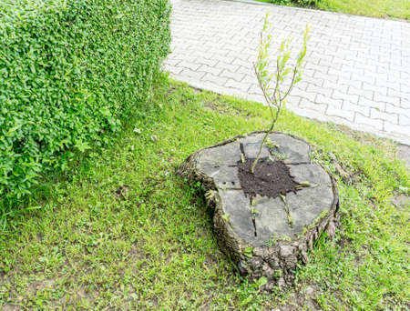 Young plant grows from old stump tree trunk