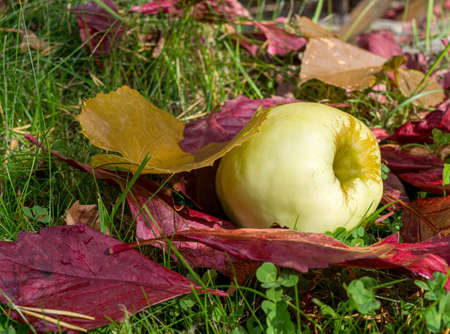 Ripe apple and red fallen leaves are lying on green grass. Harvesting in orchard. Small depth of field