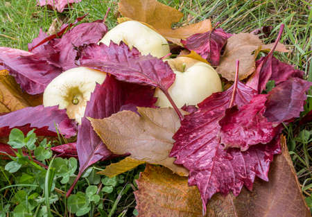 Ripe apples and wet red fallen leaves are lying on green grass. Harvesting in orchard. Small depth of field