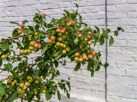 Branch of apple tree with ripe fruits near white brick wall. Sunny day
