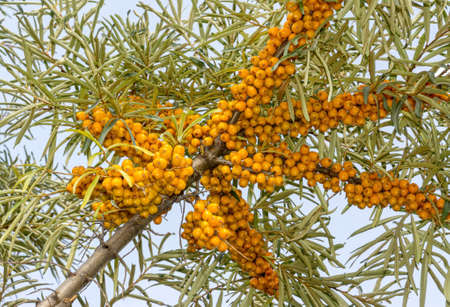 Bunches of ripe berries on branch of sea buckthorn. Medicinal plant for medicine, healthy diet, cosmetology