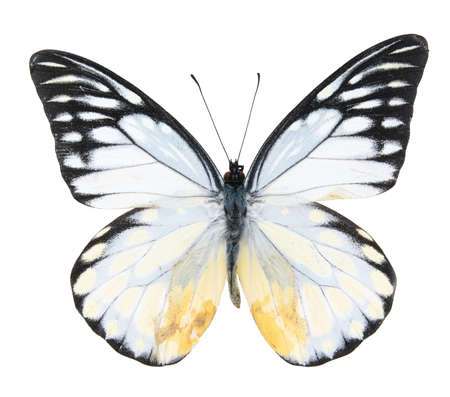 흰색 배경에 고립 된 검은 색과 흰색 나비