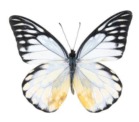 Zwart-witte vlinder die op een witte achtergrond