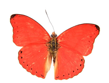 Red butterfly isolated on a white background photo