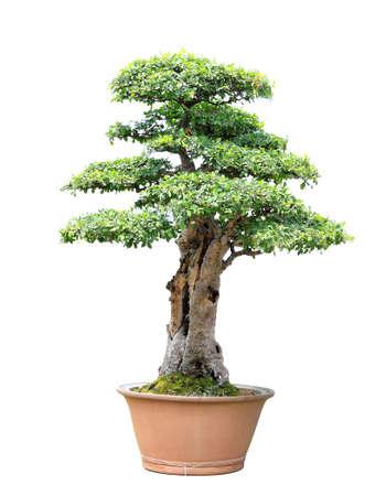 Plum tree bonsai isolated on white background