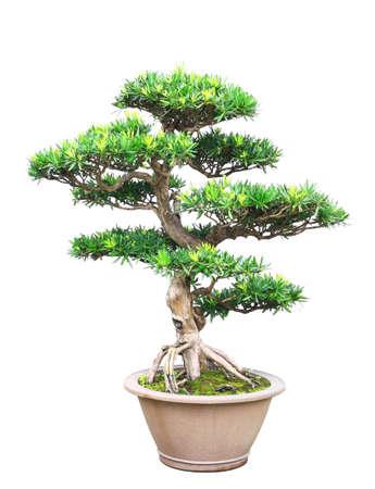 Tree bonsai isolated on white background Stock Photo - 11501247