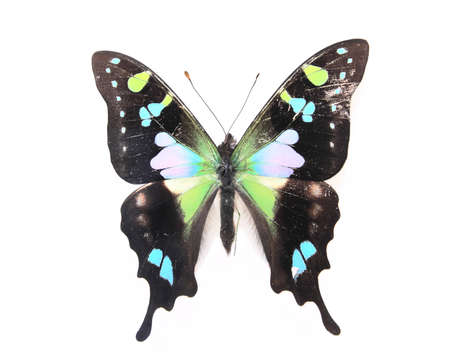 Black and green  butterfly isolated on a white background
