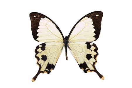 흰색 배경에 고립 된 흰색과 검은 색 나비