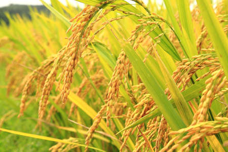 Mature harvest of golden rice Stock Photo