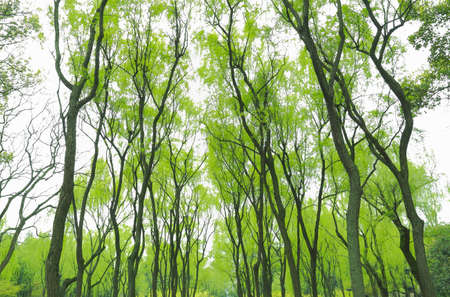 willow tree: park willows in spring
