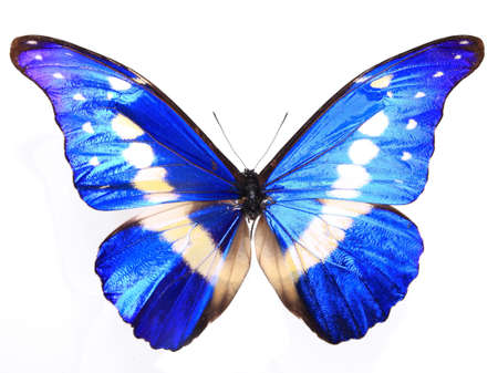 Morpho helena staudinger on a lonely and isolated  white background Stock Photo