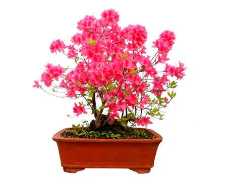 Red azalea bonsai isolated on white background photo