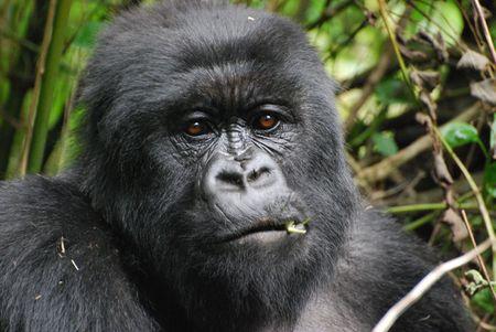 Rwanda Silverback Stock Photo