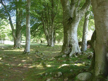 Clava Trees