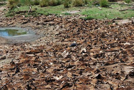 Wildebeest Carcasses Stock Photo
