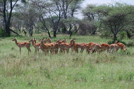 tanzania antelope: Impala Herd Stock Photo