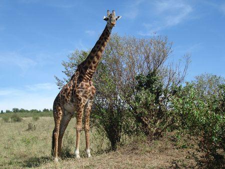 Giraffe 2 photo