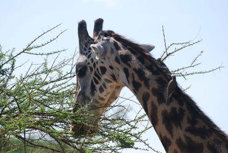 Giraffe Enjoying A Tree