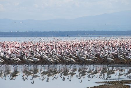 Flamingo At Lake Nakuru photo