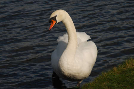 Swan in Pond photo