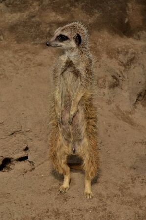 A view of an alert Meerkat standing upright in a wildlife park enclosure. 版權商用圖片