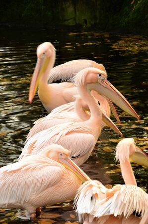 A view of a group of great white Pelicans in a pond in an animal park enclosure. Banco de Imagens - 138202358
