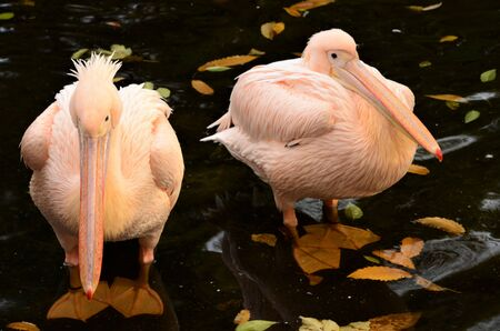 A view of a group of great white Pelicans in a pond in an animal park enclosure. Banco de Imagens - 138202337