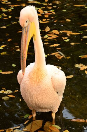 A view of a group of great white Pelicans in a pond in an animal park enclosure. Banco de Imagens - 138202684