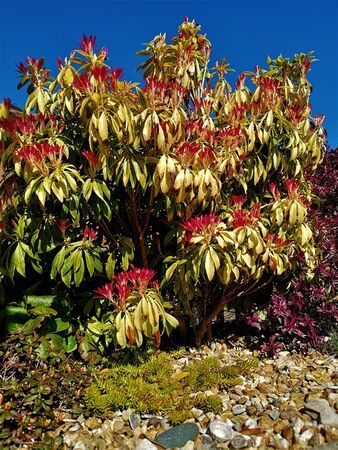 A view of the red spring coloured leaves on a Pieris forest flame plant. Stock Photo