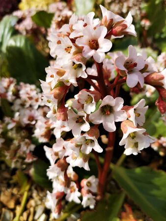 A close up view of the white flowers of a Bergenia Bressingham White in springtime.