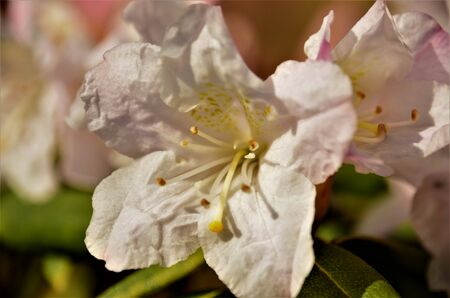 A close up view of the white flowers of a rhododendron Dora Amateis in springtime. Stock Photo