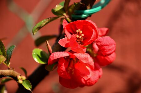 A view of the red spring flower blossoms on a Japanese Quince shrub