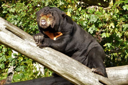 A view of a Chinese Sun Bear in an animal enclosure in a Zoological Park.