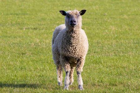 British Sheep on grass staring at camera, single. Banco de Imagens