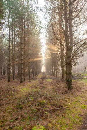 Morning light in Tunstall forest, sun rays between trees, misty tall trees in Suffolk, portrait